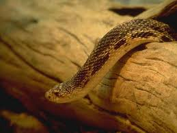 Informacion sobre la serpiente como mascota