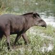 Informacion sobre el Tapir