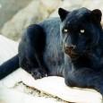 Informacion sobre la pantera negra