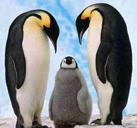 informacion-sobre-el-pinguino-emperador