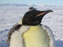 informacion sobre el pinguino emperador