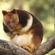 Informacion sobre el canguro arboricola