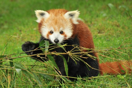 Informacion sobre el panda rojo