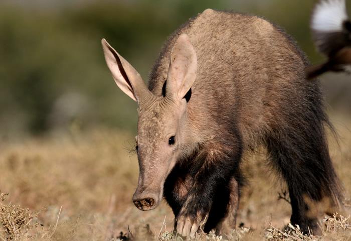 Información sobre el Cerdo Hormiguero