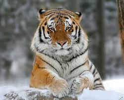Información sobre el tigre siberiano