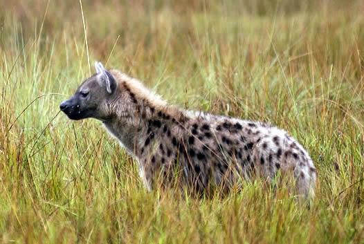 Información sobre la hiena moteada