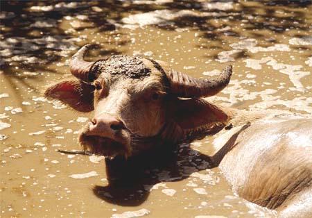 Mas información sobre el búfalo de agua