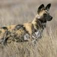 Información sobre el perro salvaje africano
