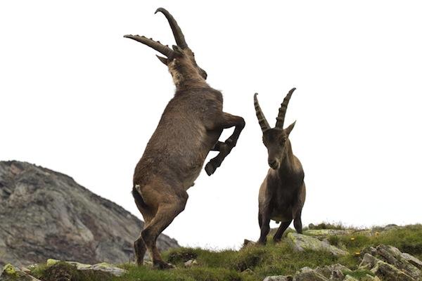 Información sobre la cabra salvaje