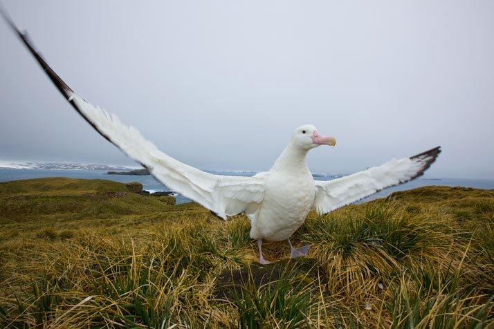 Información sobre el Albatros viajero