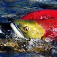 Información sobre el Salmon Rojo 1