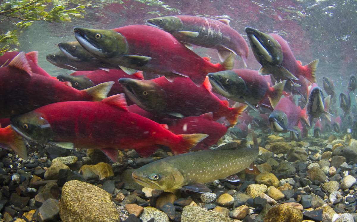 Información sobre el Salmon Rojo 2