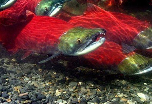 Información sobre el Salmon Rojo 3