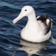 Más información sobre el Albatros viajero 1
