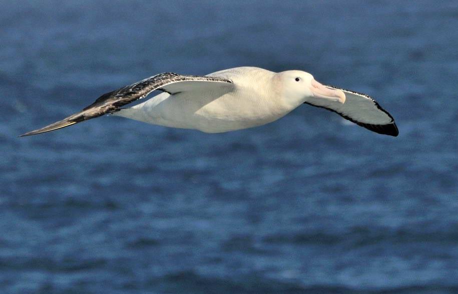 Más información sobre el Albatros viajero 2