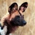 Más información sobre el perro salvaje africano 1