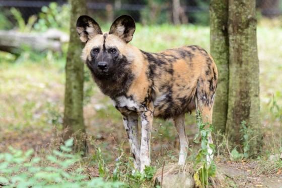 Más información sobre el perro salvaje africano 3