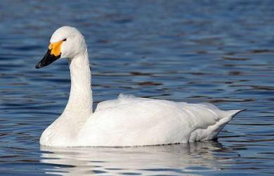 Información sobre el Cisne de tundra 1