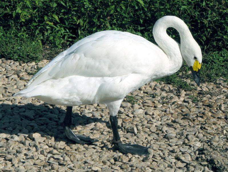 Información sobre el Cisne de tundra 2