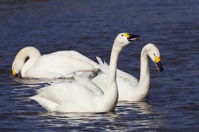 Información sobre el Cisne de tundra 3