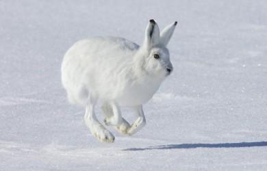 Información sobre la liebre ártica 1