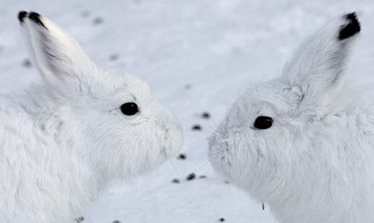 Información sobre la liebre ártica 2