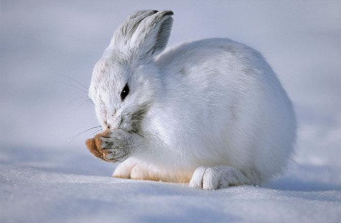 Información sobre la liebre ártica 3