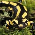 Información sobre la salamandra tigre 1