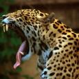 Más información sobre el Jaguar 1