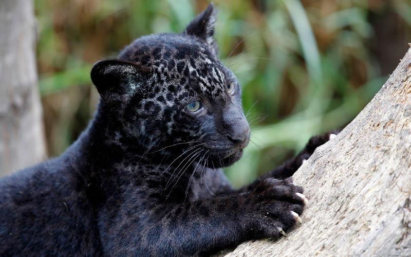 Más información sobre el Jaguar 2