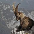 Más información sobre la cabra salvaje 1