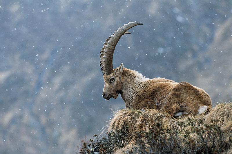 Más información sobre la cabra salvaje 3
