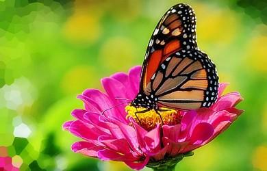 Más información sobre la mariposa monarca 1
