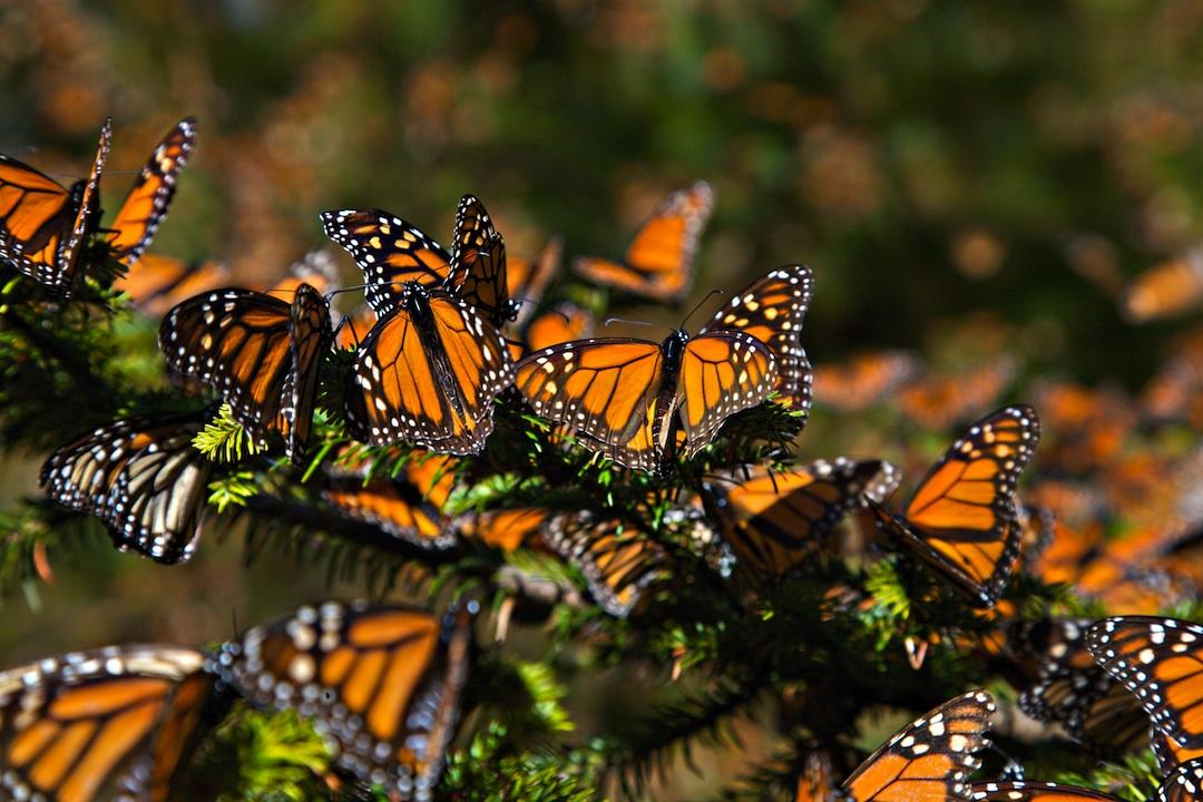 Más información sobre la mariposa monarca 2