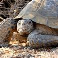 Más información sobre la tortuga del desierto 1