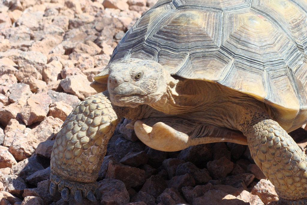 Más información sobre la tortuga del desierto 2