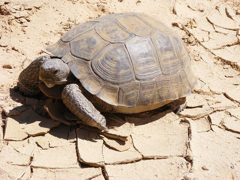 Más información sobre la tortuga del desierto 3