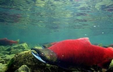 Más información sobre el salmón rojo 1