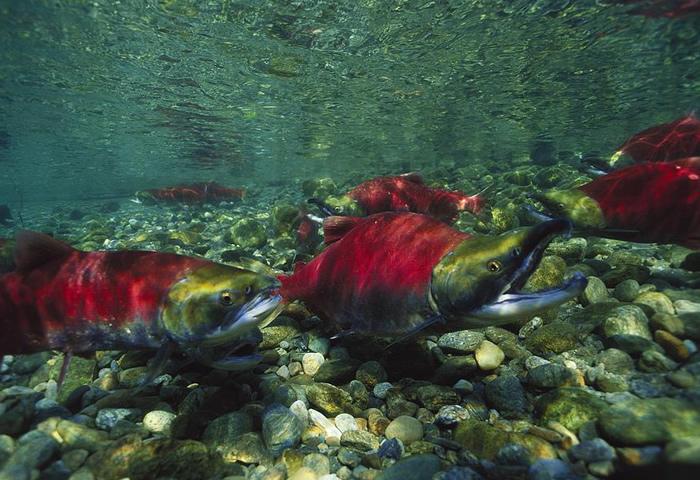 Más información sobre el salmón rojo 3