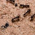 Información sobre las hormigas 1