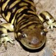 Más información sobre la salamandra tigre 1