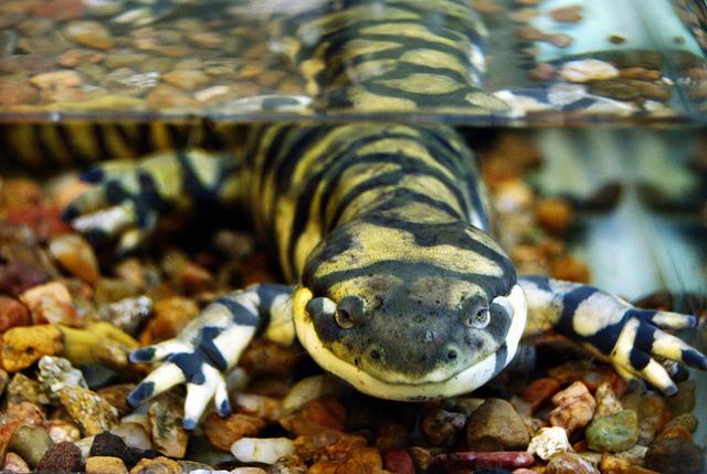 Más información sobre la salamandra tigre 2