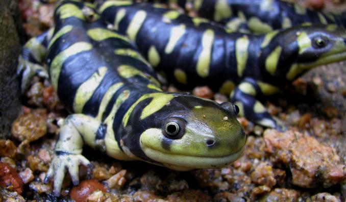 Más información sobre la salamandra tigre 3
