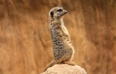 Más información sobre la suricata 1