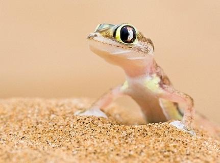 Información sobre el lagarto gecko