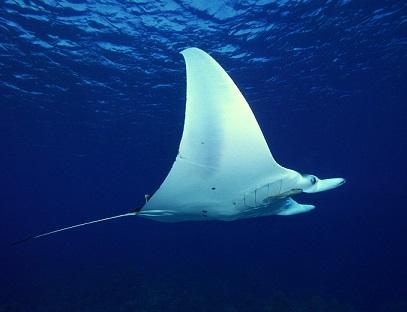 Información sobre la mantarraya de arrecife 3