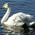 Más información sobre el cisne de tundra 1
