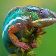 Más información sobre el camaleón