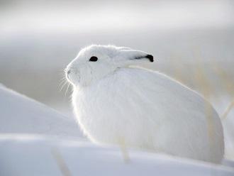 Más información sobre la liebre ártica