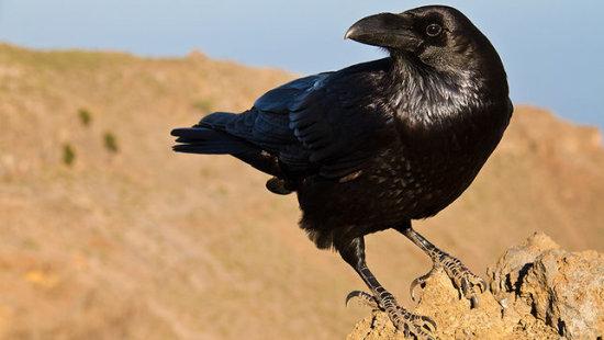Información sobre el cuervo 1